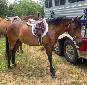 Boomer, a 14hh Morgan cross pony, is currently in full training at CV Equestrian. He is offered for sale at $1,500.