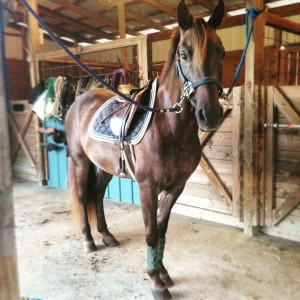 Welsh Pony for Sale in Panama City